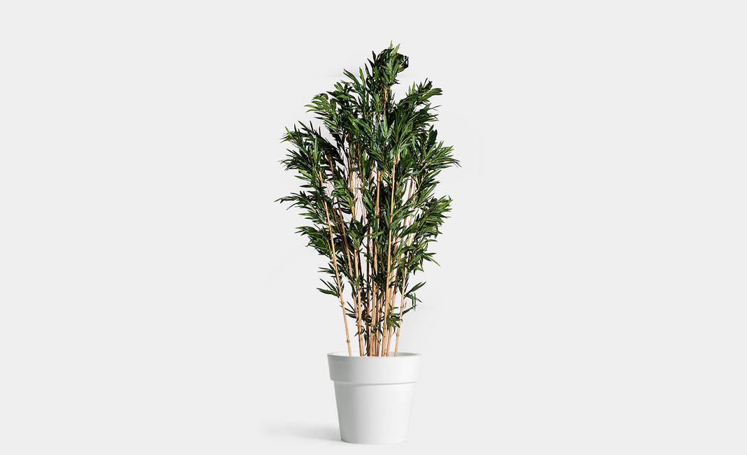 Dehydrated Bambú XL plant | Crimons