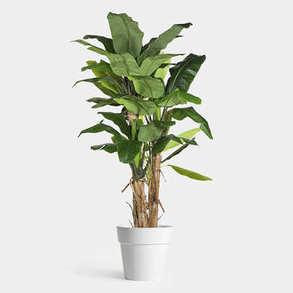 Dehydrated Banana Plant | Crimons